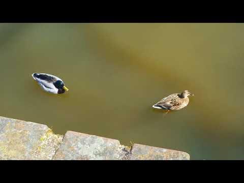 Водоплавающие ухажёры!, Аnimals,Tiere