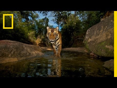 National Geographic Live! - Trapping Tigers