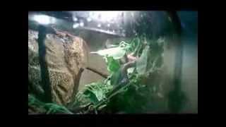 Ameiva Setup - Reptile Care
