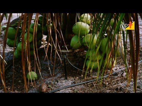 Clique e veja o vídeo Curso a Distância Produção de Coco Anão para Consumo de Água