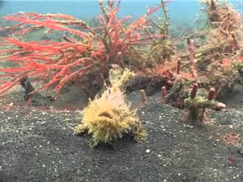 Diving Suluwesi - Reef Life of Lembeh Straits with Two Fish Divers Part 1