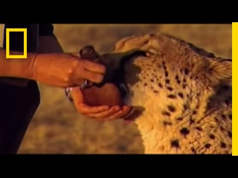 Wild Chronicles: Dog Saves Cheetah Video