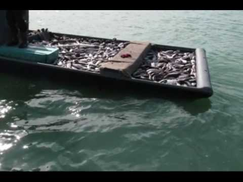 COMMERCIAL NET FISHING IN FLORIDA  WITH CASTNETS AND 100% LEGAL SEINS THE BEST OF 2011