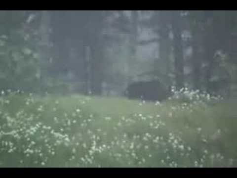 Grizzly Bear Kills Moose Video