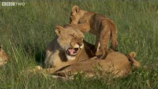 Lion Cubs Suckling - The Truth About Lions, Preview - BBC Two