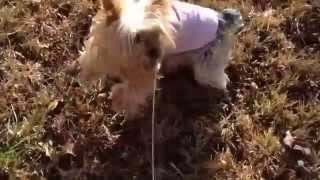 [Carl Ceder Racing Yorkie] Video