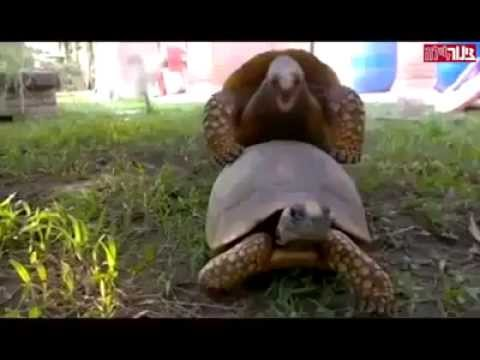 Turtles Having Sex video