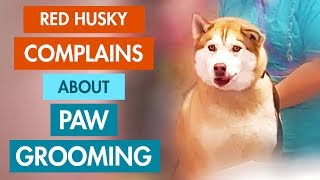 Husky Crying: Whining Dog Hates Getting His Paw Hair Groomed