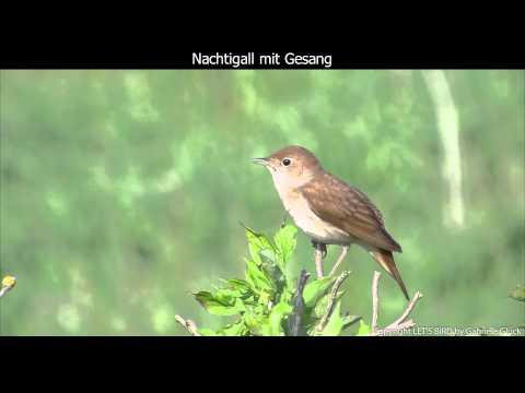 Nachtigall mit Gesang - Nightingale singing (1080p HD)