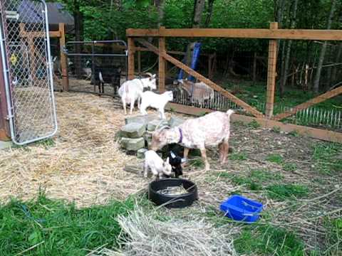 Boer Goat Kids playingavi