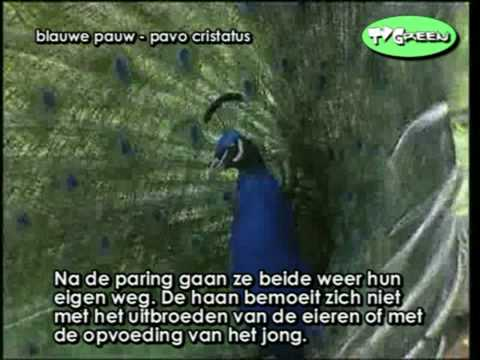 Pauw - Pavo Cristatus Indian Blue Peacock Calling video