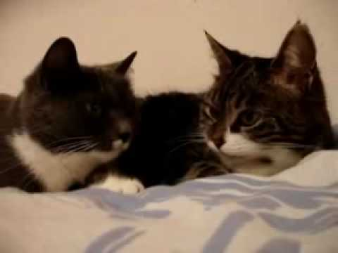 Two Cats Talking To Each Other (original!) video