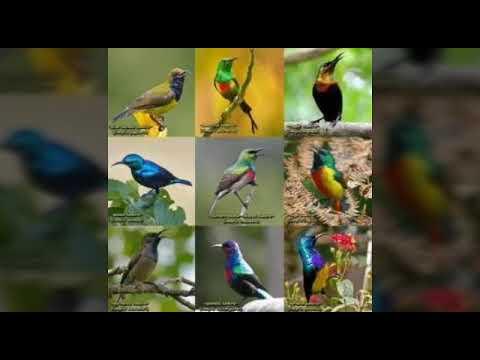 Audio Pikat Berbagai jenis burung Kolibri Liar 100% ampuh