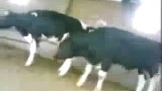 Funny cow Mating fail full video