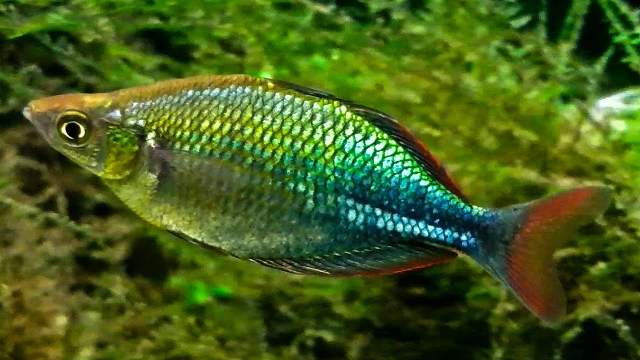 Emerald rainbow fish up close youtube for Dwarf rainbow fish