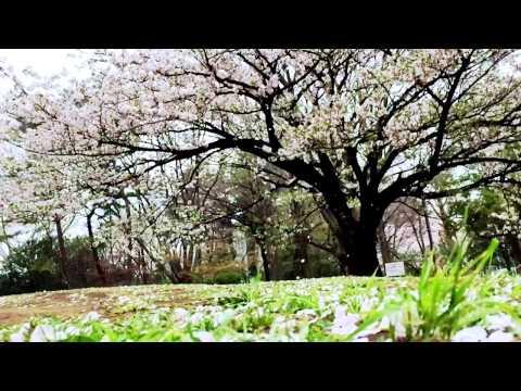 日本の桜 桜吹雪 Cherry Blossoms in Japan  cherry blossoms blizzard