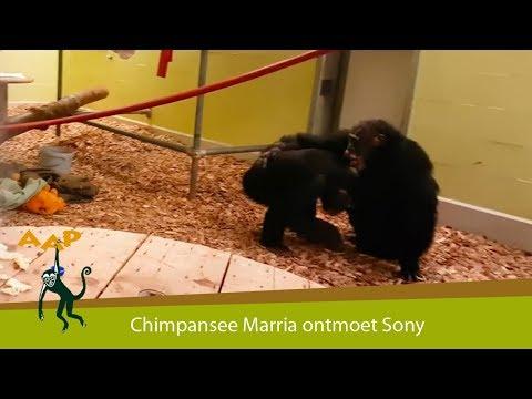 Chimpansee Marria ontmoet soortgenoot Sony - Stichting AAP