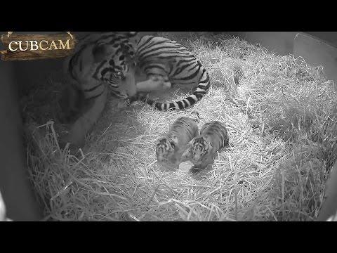 Adorable Sumatran tiger cub twins born at ZSL London Zoo