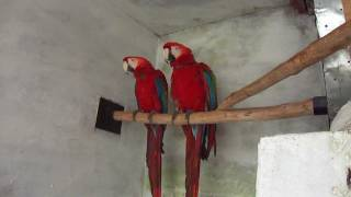 scarlet macaw pair in (Preethi Farms)