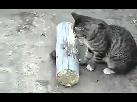 Кошка придушила мышь и играется   с  мышью!!!  Прикол!Юмор! Смех