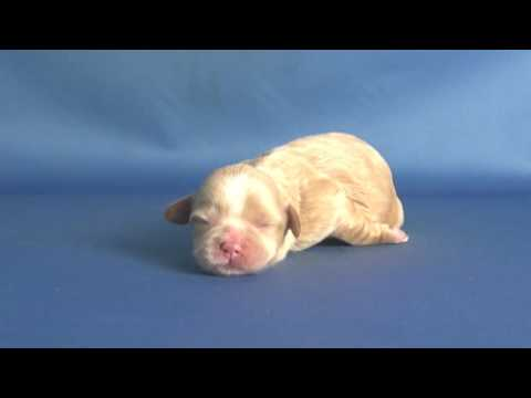 【ペットノート】 マルプー(マルチーズ×トイ・プードルのミックス犬) 女の子 16062303