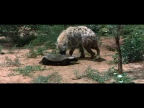 Honey badger vs lion testicles - photo#16