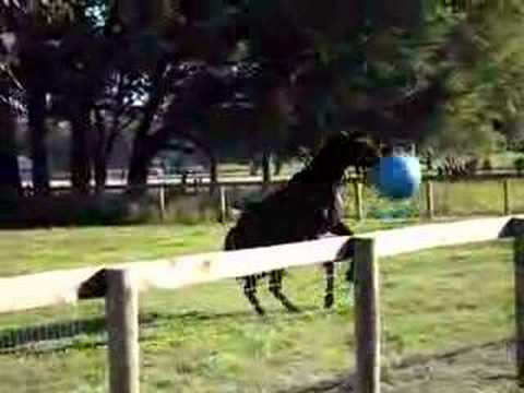 Black Stallion & the Exercise Ball Workout