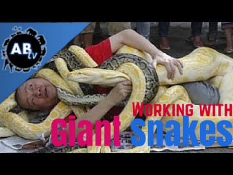 Working With Giant Snakes! Snakebytestv : Animalbytestv video