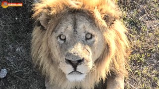Лев Малыш - Соколиный Глаз! Тайган. Lions life in Taigan.