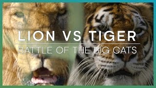 LION vs TIGER: Battle Of The Big Cats - BBC Earth Unplugged
