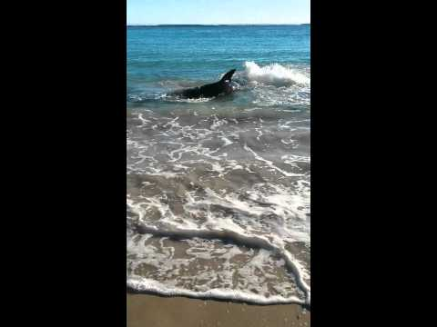 White Pointer Shark swims onto Coronation beach Geraldton, Western Australia. Choked on sea lion.
