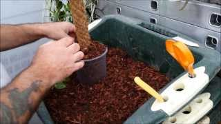 Planting a vanilla orchid on a moss or coir covered pole