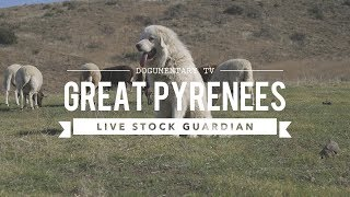 GREAT PYRENEES: LIVESTOCK GUARDIAN IN ACTION