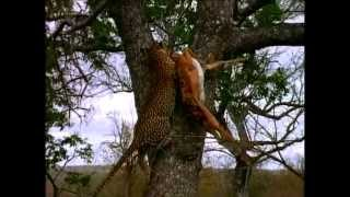 Guepard and  gazelle jump killer