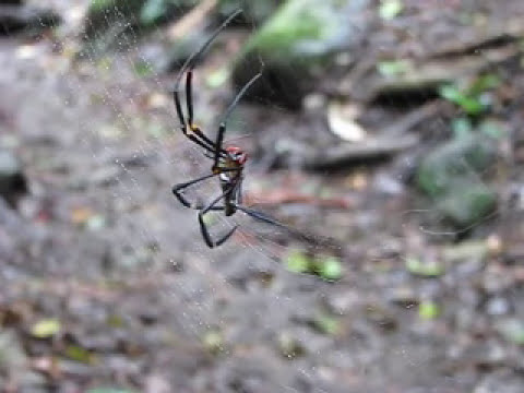 Itsy-bitsy spider at the Witch Falls track on Mt Tambourine