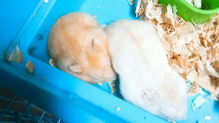 Mè Hamster TV | thành viên mới nhà Mè | Winter White Vàng Chanh | Bé Chanh nhút nhát |