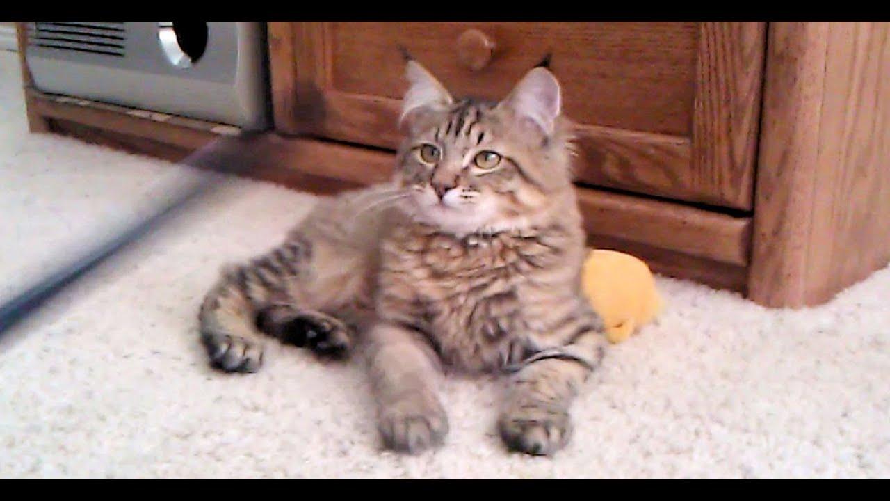 Cute baby bobcat - photo#24