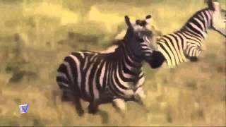 top 10 lion attack zebra HD