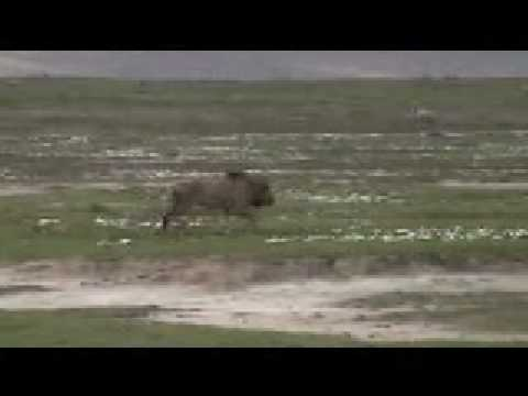 Lion Attack - Male Lion Attacks Zebra video