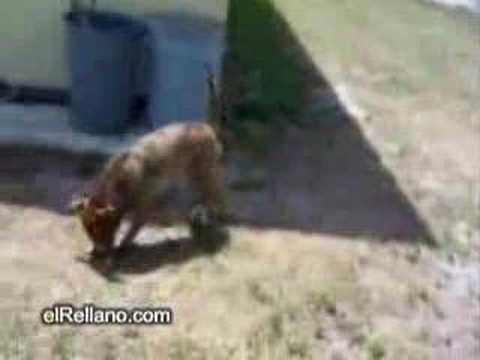 Perros - Perro dando vuelta completa