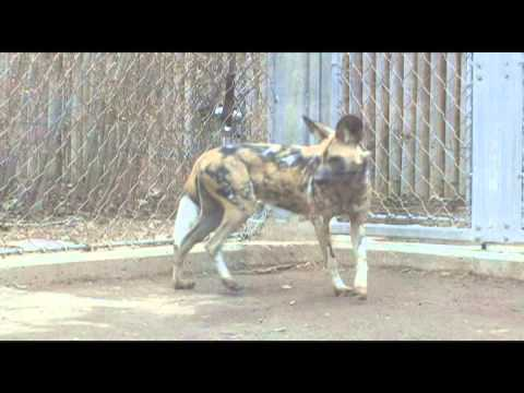 Denver Zoo Zoo Welcomes African Wild Dog Sisters