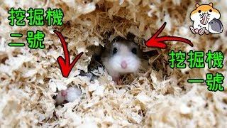 製作倉鼠超大挖掘池! 發揮倉鼠原始挖掘本能! 狂抓籠子的成因? 木屑還是紙綿較好?