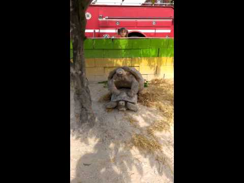 Little girl watches tortoises having sex... WHOA!