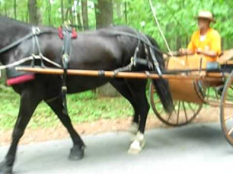 Carriage horse in early training
