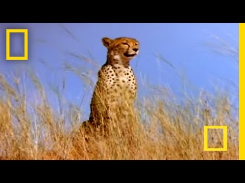 Cheetah vs. Gemsbok