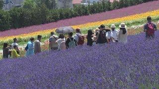 広がる紫のじゅうたん