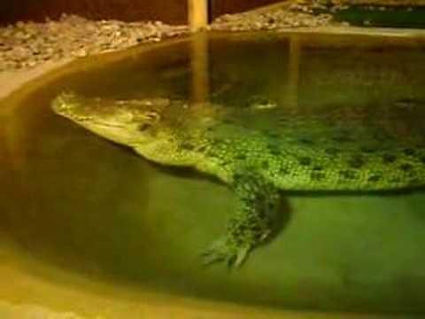 Reptile Gardens Maniac Alligator Reptile Garden
