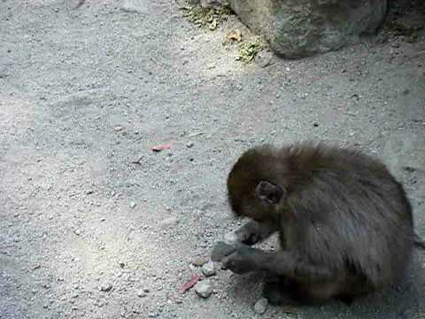 猿君 石で遊ぶ