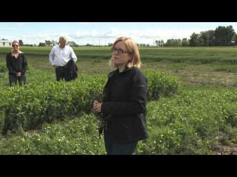Crop Walk - Pea Root Diseases - June 19, 2014