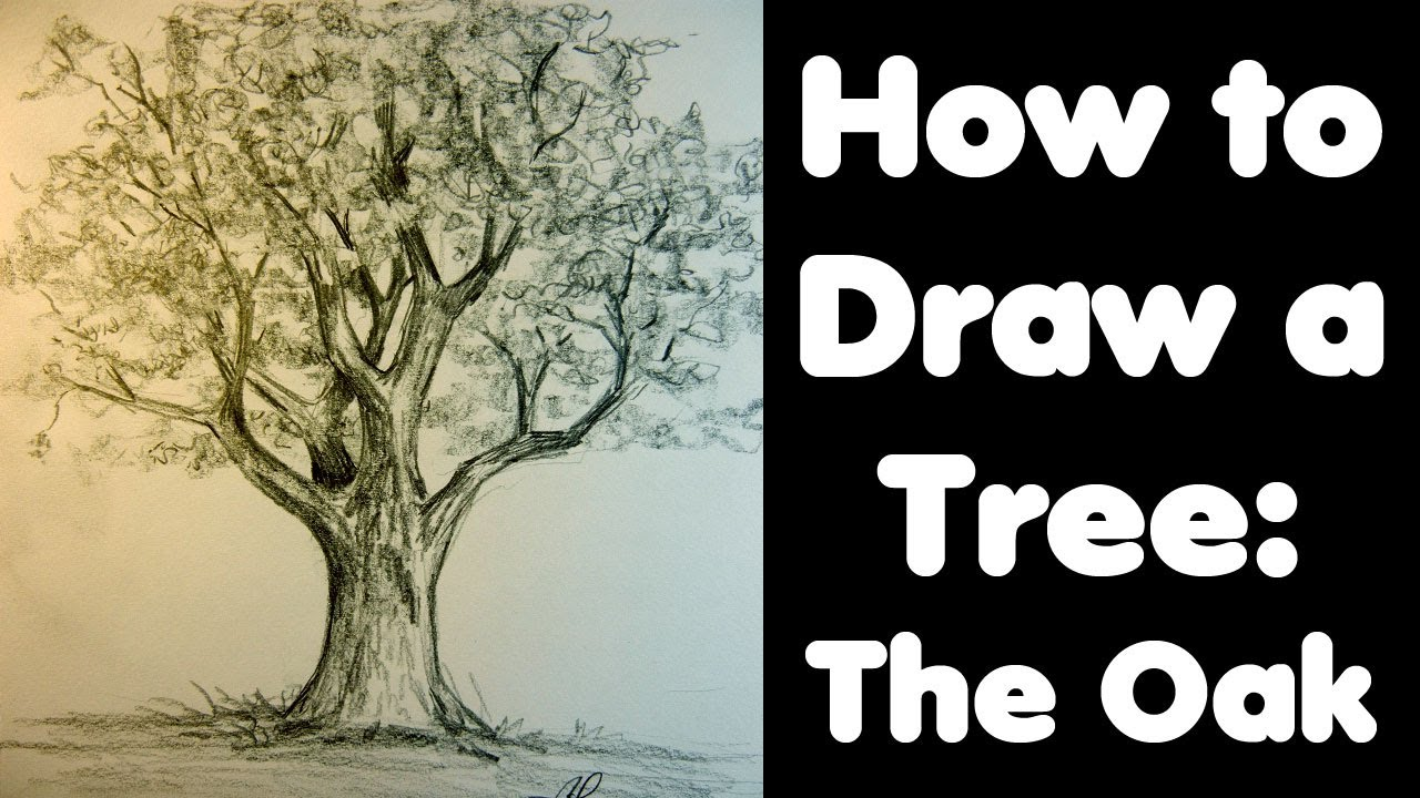 Acorn Tree Drawing How to Draw a Tree The Oak